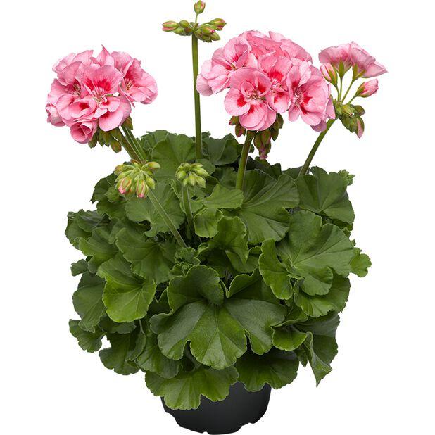 Pelargonia Calliope 'Pink Splash', Ø12 cm, Rosa