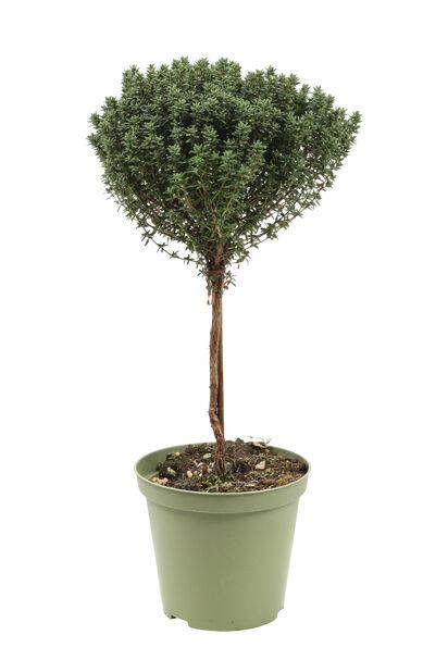 Oppstammet timian, Ø14 cm, Grønn