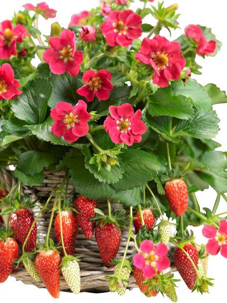 Jordbær i ampel, Ø25 cm, Rød