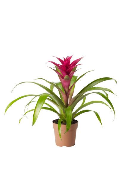 Juvelblomst lila 12cm