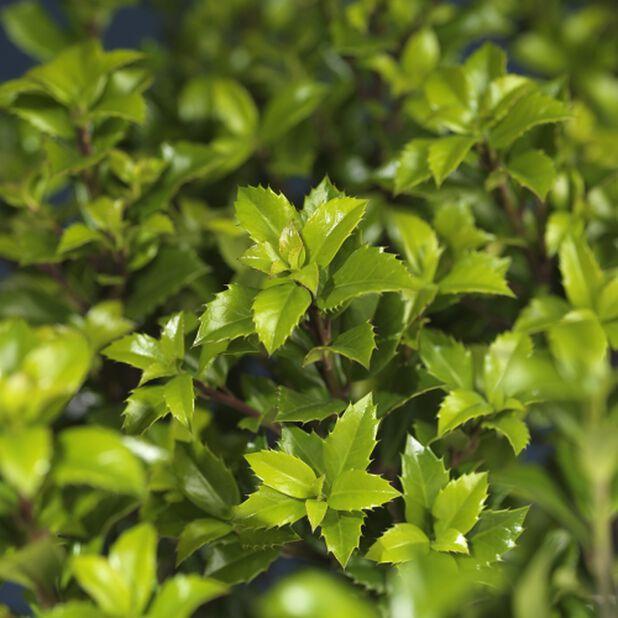 Kristtorn 'Heckenstar', Høyde 25-30 cm, Grønn