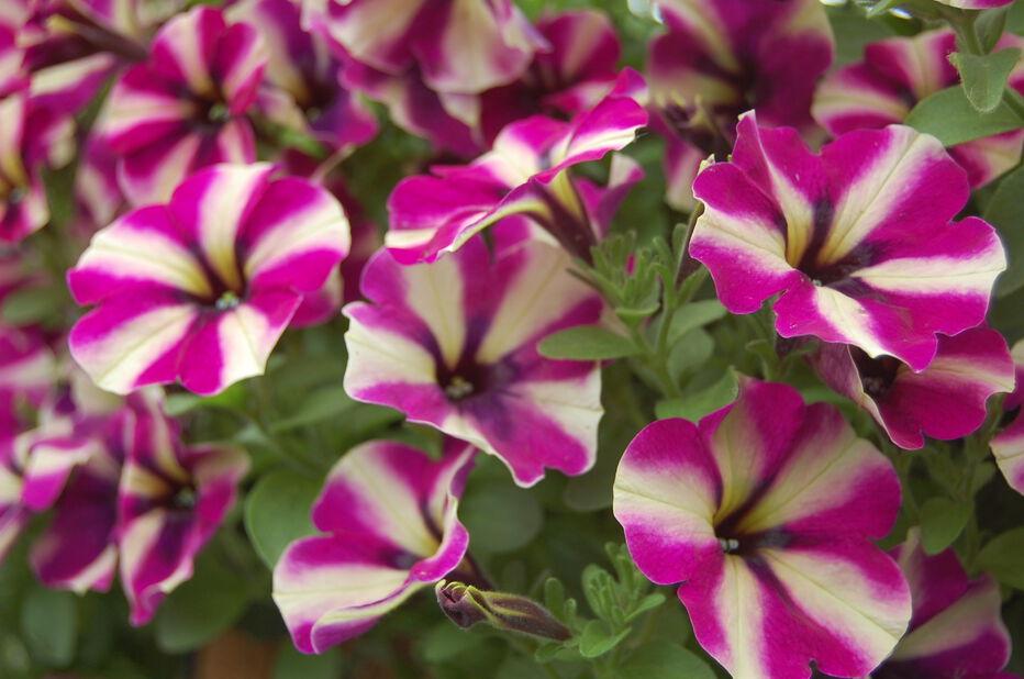 Petunia storblomstret, Ø12 cm, Blå
