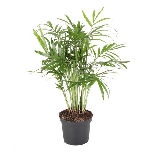 Dvergfjærpalme, Høyde 22 cm, Grønn