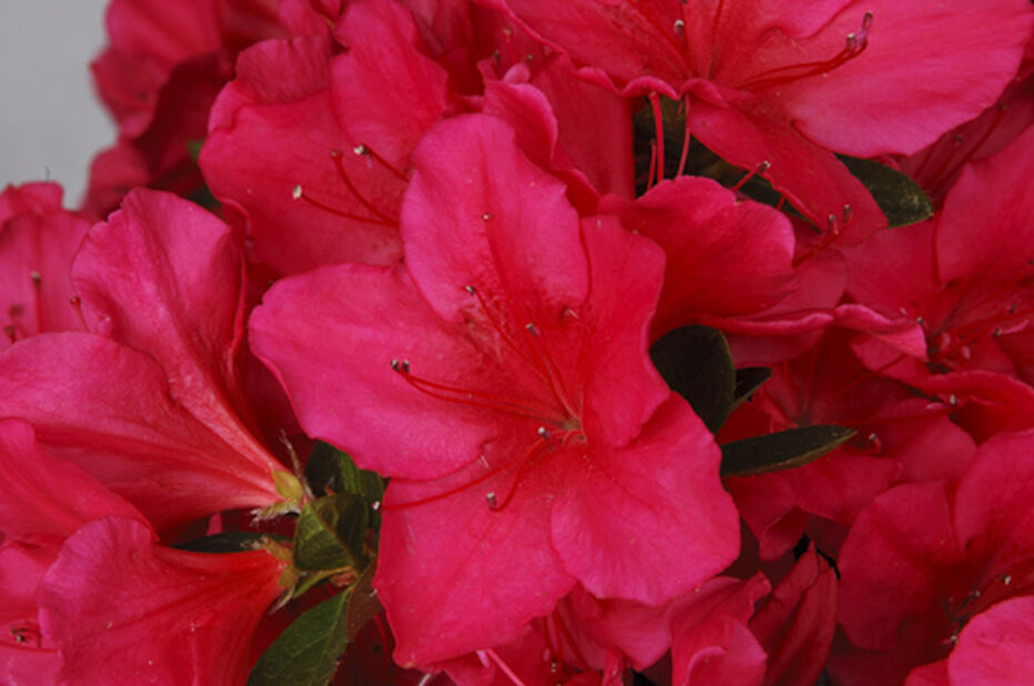Rododendron 'Arabesk', Ø23 cm, Rød