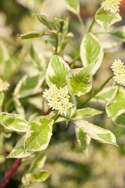 Sibirkornell 'Elegantissima', Høyde 40 cm, Hvit