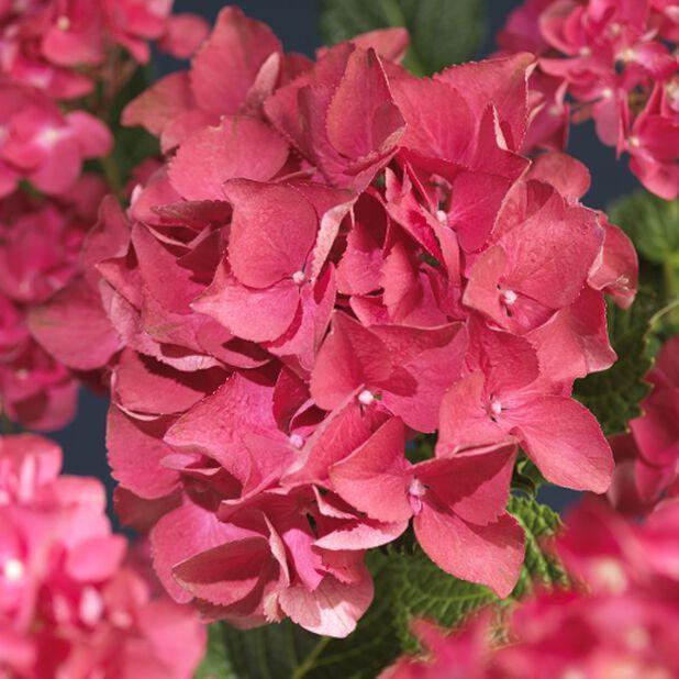 Hortensia, Ø29 cm, Rød