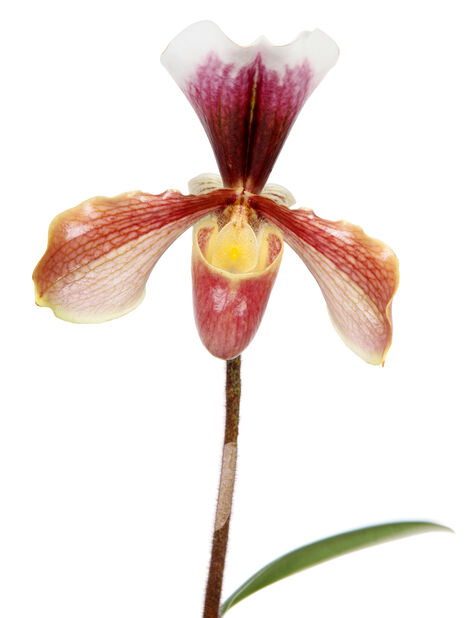 Paphiopedilum-hybrider