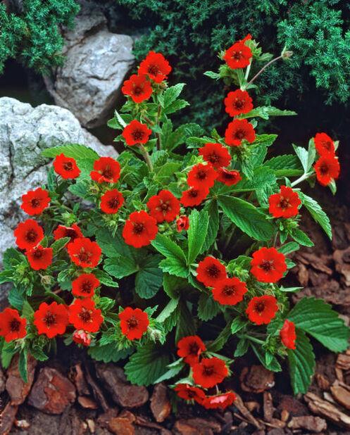 Mure, Høyde 15 cm, Rød