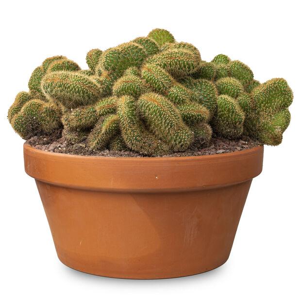 Cleistocactus i potte , Høyde 20 cm, Grønn