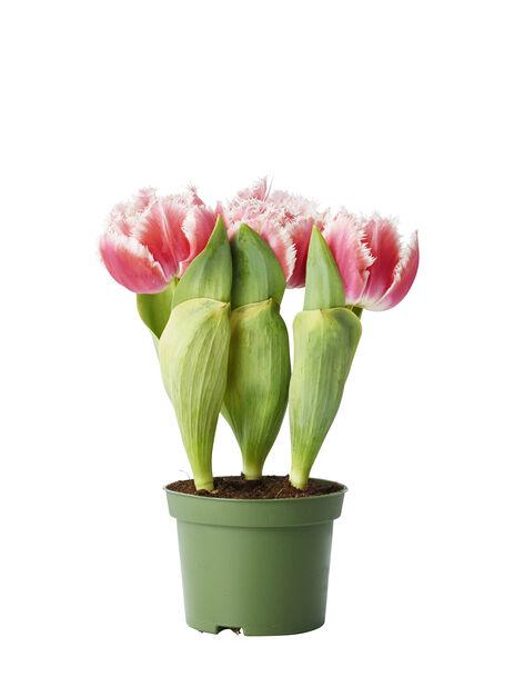 Tulipa 12cm