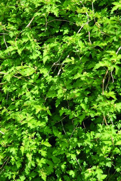 Flikkranstopp 'Crispa', Ø22 cm, Grønn