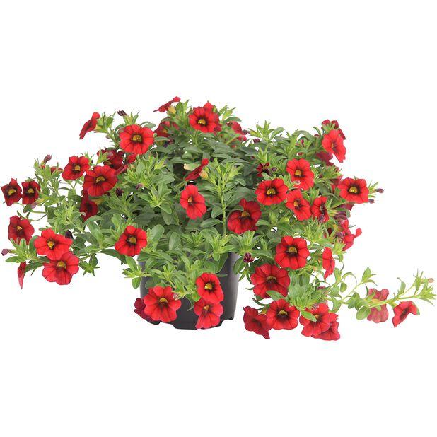Småpetunia, Ø12 cm, Rød