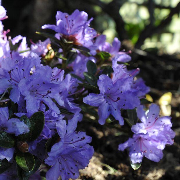 Rododendron 'Blumira', Ø17 cm, Blå