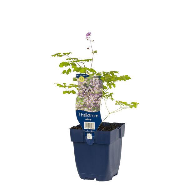 Vingefrøstjerne, Ø11 cm, Lilla