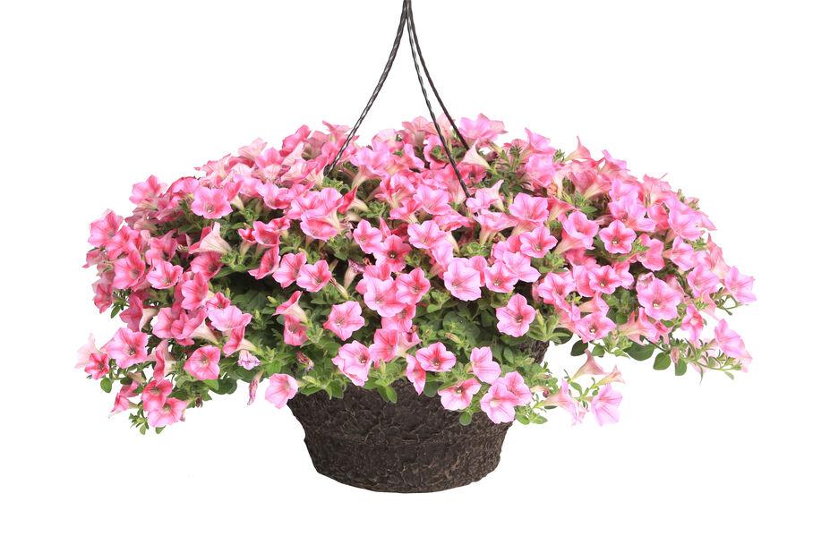 Petunia 'Dekko' i ampel, Ø25 cm, Flere farger
