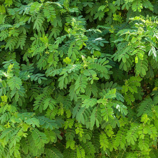 Robinia 'Umbraculifera', Høyde 2.3 m, Grønn