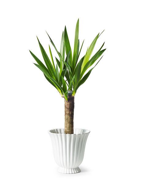 Yuccapalme, middels