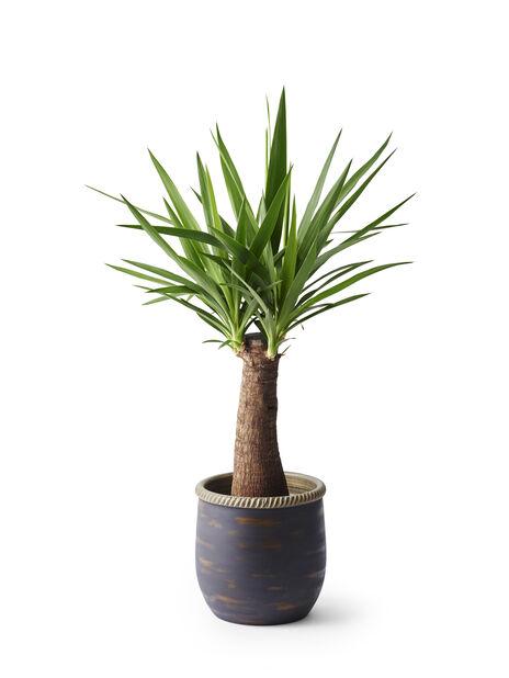 Yuccapalme, Høyde 75 cm, Grønn