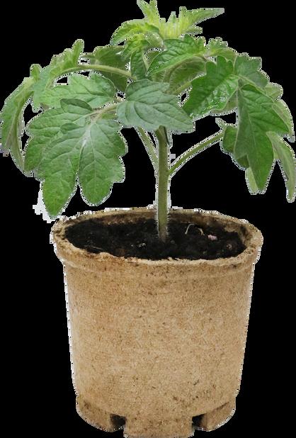 Tomat 'Elin', Ø12 cm, Rød