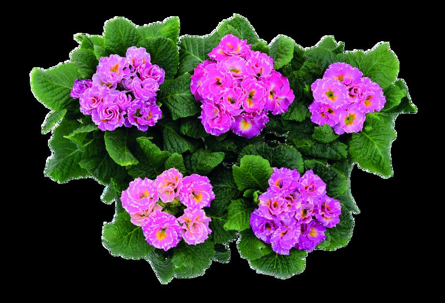 Primula, Ø12 cm, Rosa