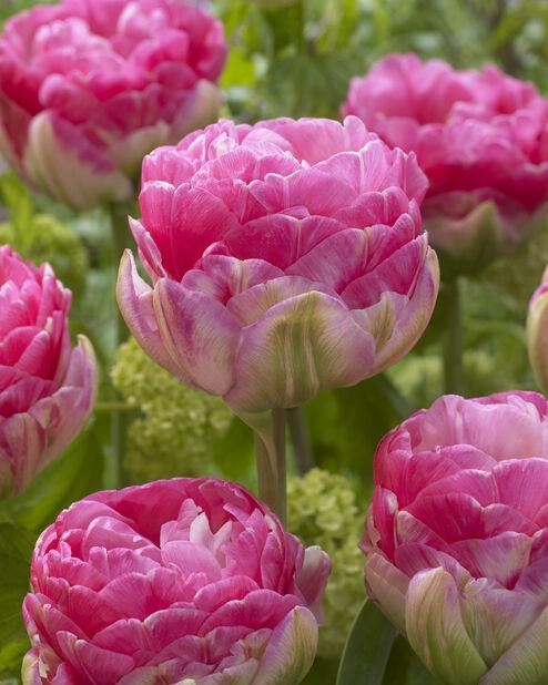 Fylt tulipan 'Pinksize', Rosa