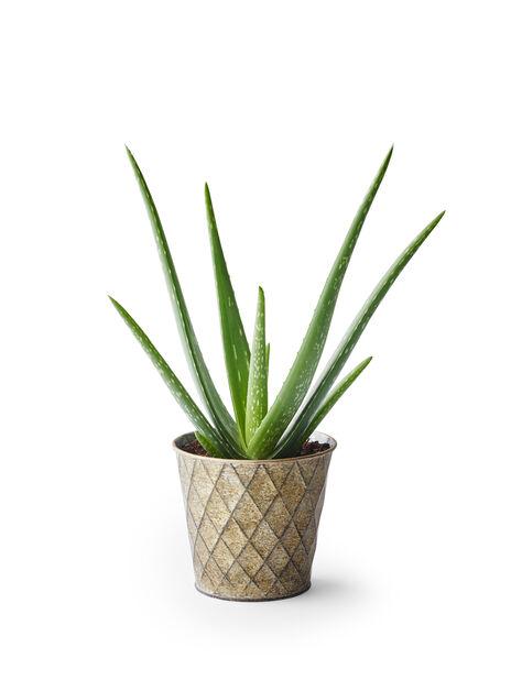 Aloe vera, Høyde 25 cm, Grønn