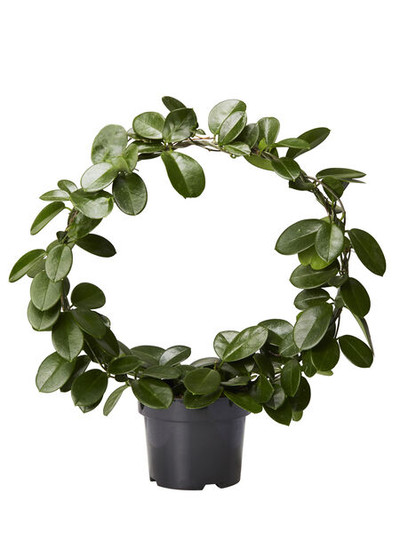 Porsleensplante på bøyle, Høyde 65 cm, Grønn