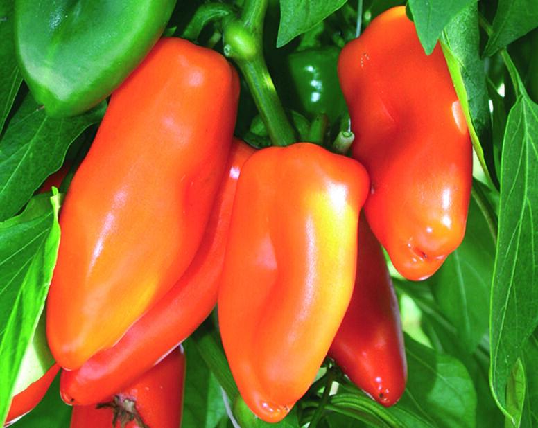 Innhøstingsklar chili 'Bonzi'