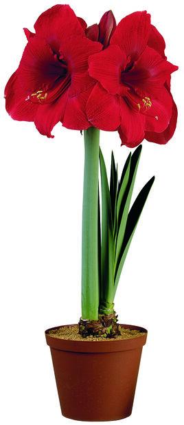 Amaryllis 1-grenet, Rød