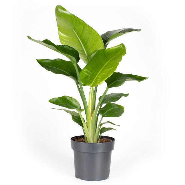 Strelitzia nicolai, Høyde 70 cm, Grønn