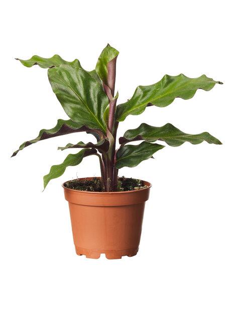 Grønnplante mix 6 cm
