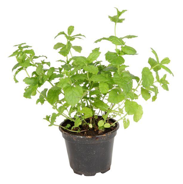 Mynte, Ø17 cm, Grønn