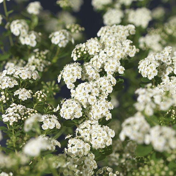 Sommerspirea 'Snowmound', Høyde 50 cm, Hvit