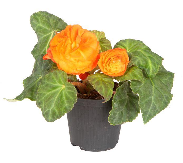 Knollbegonia 12 cm