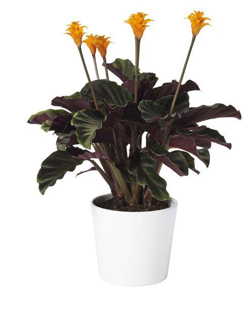 Calathea 'crocata' 5-6 blomster 14 cm