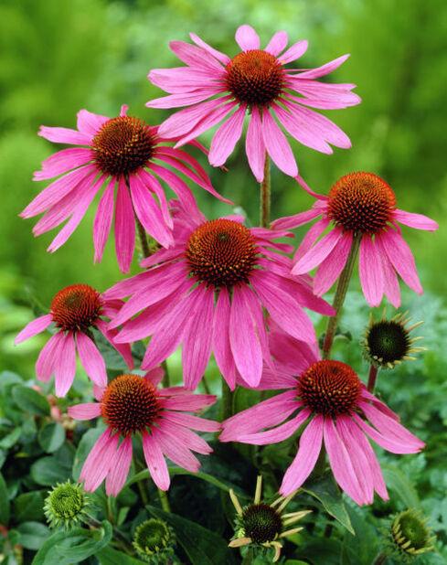Purpursolhatt, Ø11 cm, Rosa
