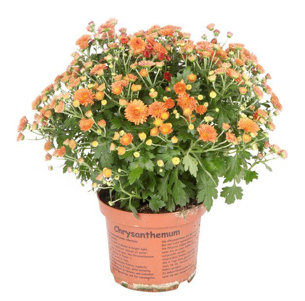 Frilandskrysantemum lilla 14 cm
