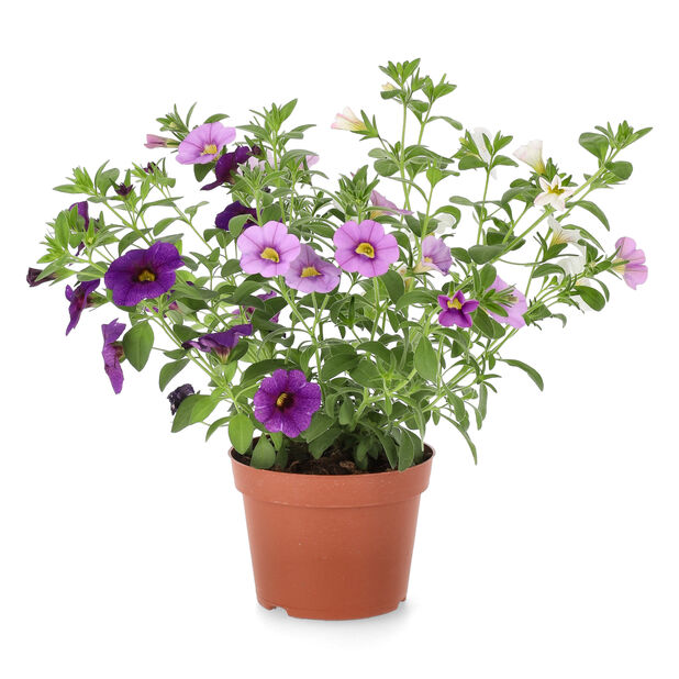 Småpetunia, Ø12 cm, Lilla