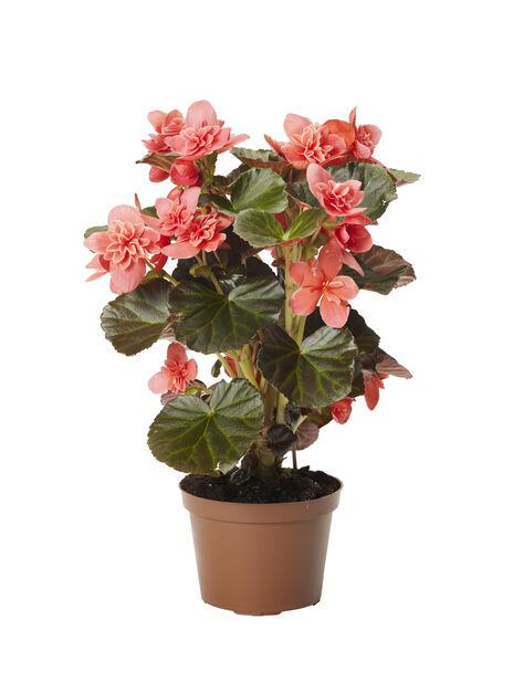 Stuebegonia'Ceveca', Høyde 25 cm, Rosa