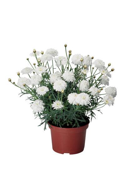 Margeritt 12 cm dobbel hvit