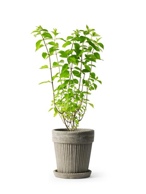 Syrinhortensia 'Grandiflora', Høyde 30 cm, Hvit