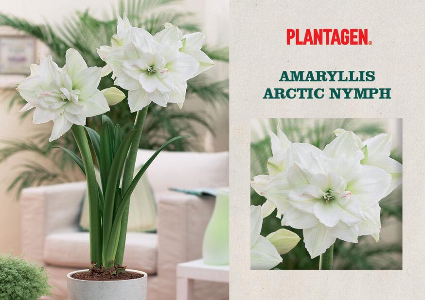 Amaryllis 'Arctic Nymph', Hvit
