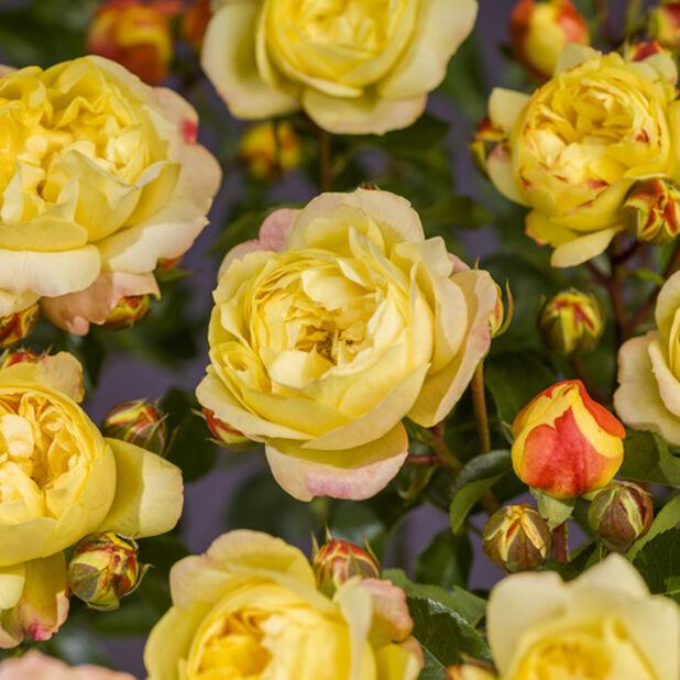 Rose 'Lampion', Høyde 50 cm, Gul