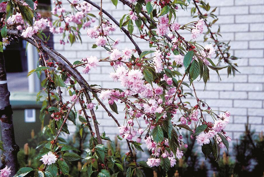Prunus serrulata 'Kiku-shidare-zakura' 100 cm 12L