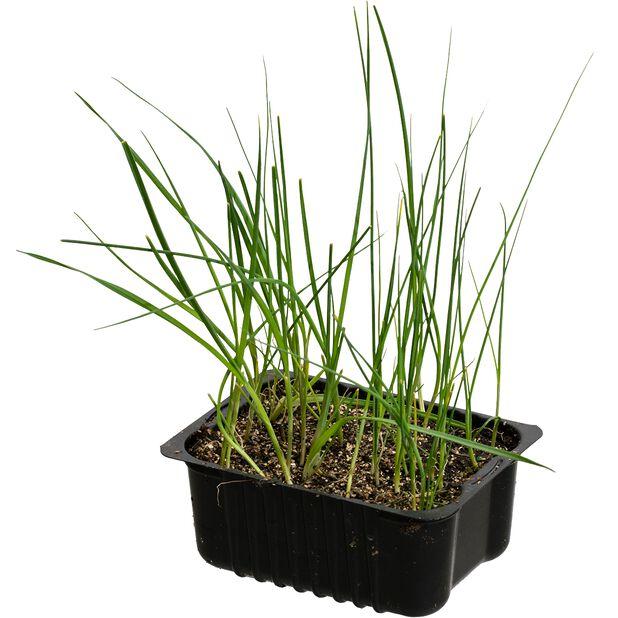 Vårløk , Ø14 cm, Grønn