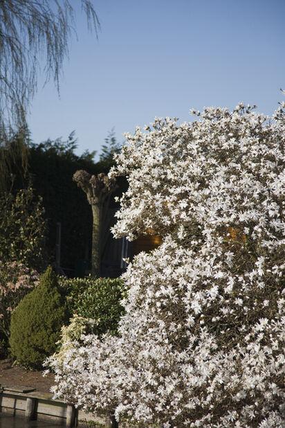 Magnolia oppstammet miks, Høyde 100 cm, Flere farger