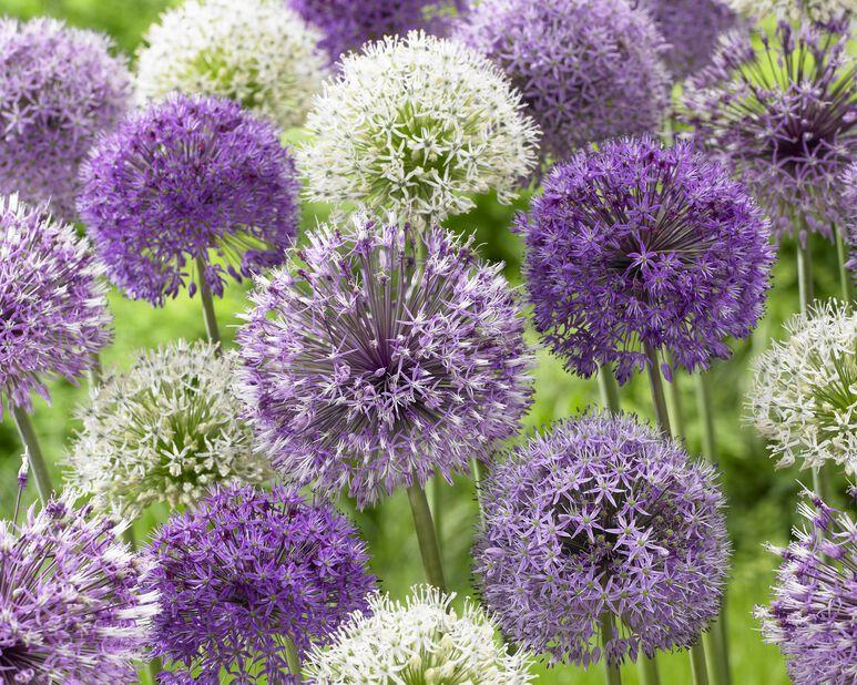 Allium miks, Flerfarget