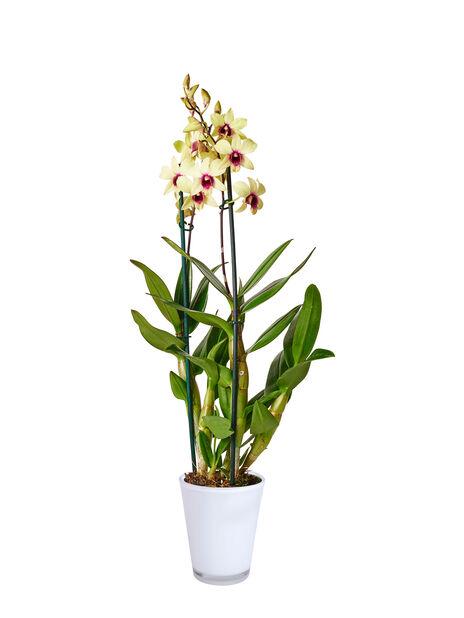Dendrobium orkidé 'Sa-Nook', Høyde 55 cm, Flere farger