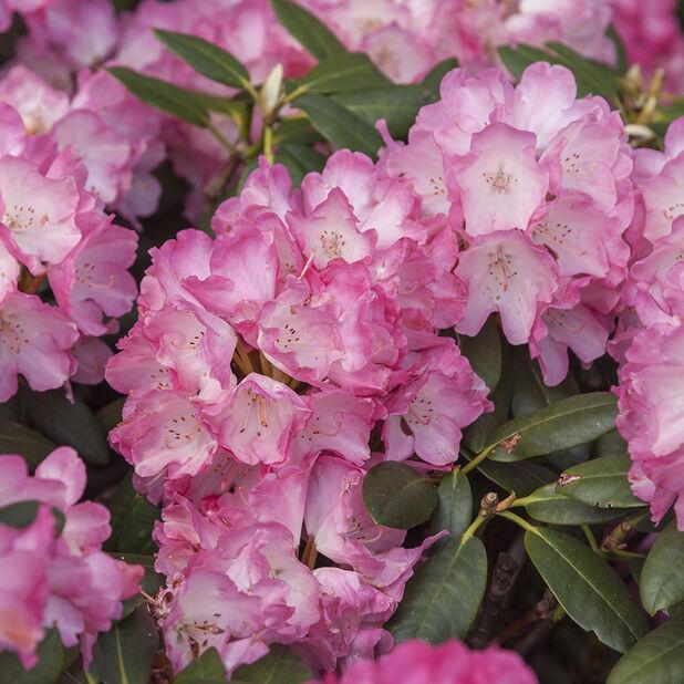 Rododendron 'Fantastica', Ø23 cm, Rosa
