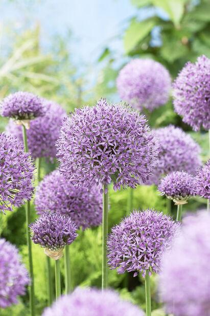 Allium 'Gladiator', Lilla